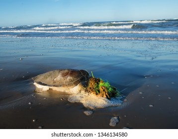 The sea turtle got entangled in the fishing line and died. Texas Coast, Gulf of Mexico, USA