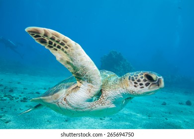 A sea turtle gracefully swims by the underwater camera in Hawaii's clear blue water