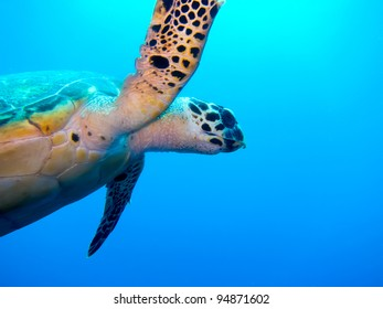 Sea Turtle, Half Moon Caye, Belize