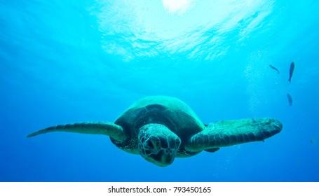 Sea turtle. Hawaii