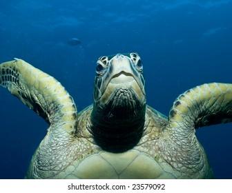 Sea turtle head on