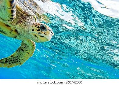 Sea turtle in The Indian Ocean, Maldives