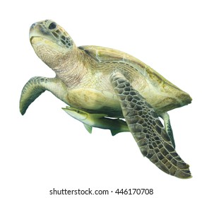 Sea Turtle isolated white background (with Shark sucker fish)
