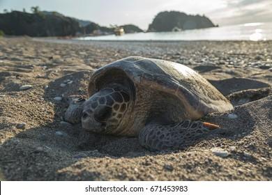 Sea turtle lays eggs on sand beach.