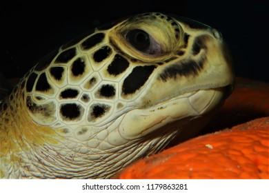 Sea Turtle Loggerhead