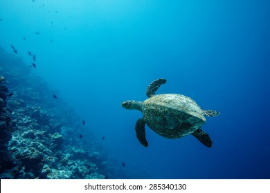 Sea turtle loggerhead floating over corals in tropical paradise. In deep blue background