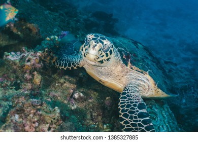 Sea Turtle looking at camera - Underwater photo of sea turtle resting over corals looking at camera. Scuba diving in Thailand, Phi Phi Islands.