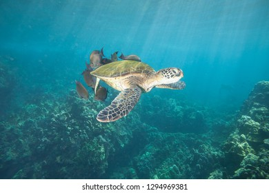Sea Turtle mid water at a cleaning station