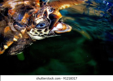 Sea Turtle with mouth open