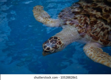 Sea turtle from northern Brazil