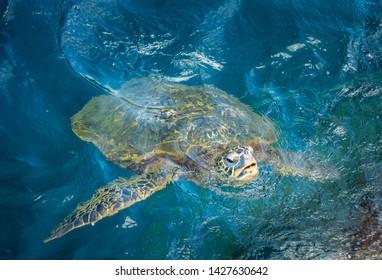 Sea Turtle In Ocean On Island Of Kauai