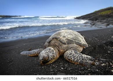Sea Turtle on Beach
