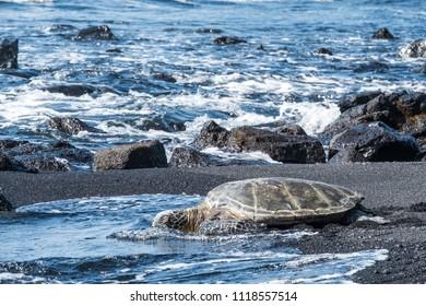 A sea turtle on Black Sand beach in Kona, Hawaii