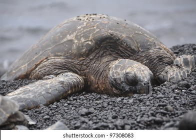 sea turtle on black sand beach