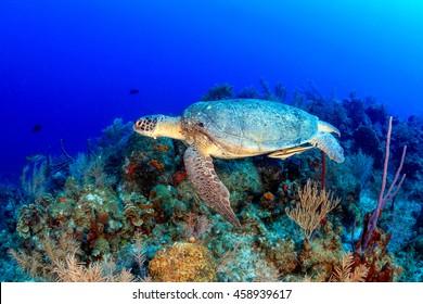 Sea Turtle on a Caribbean Reef