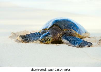 sea turtle on a sand beach of Oahu, Hawaii