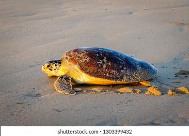 Sea turtle on the tropical Tanjung Aru beach In Labuan Pearl of Borneo,Malaysia.