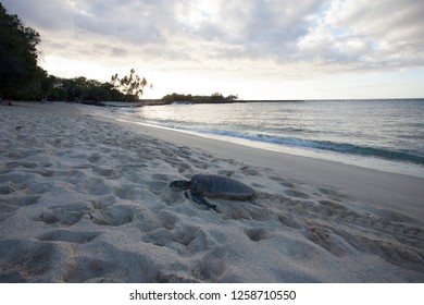 Sea Turtle On White Sand Beach in Hawaii