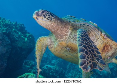 Sea turtle over coral reef