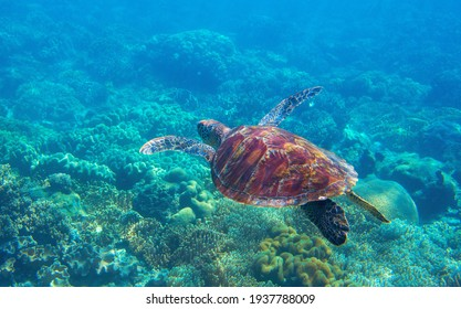 Sea turtle photo in corals. Tropical seashore diving banner template. Summer vacation travel card. Marine animal in natural environment. Olive green turtle undersea in coral reef. Oceanic nature