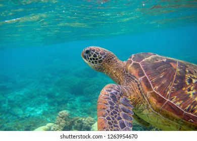 Sea turtle portrait. Exotic marine turtle underwater photo. Oceanic animal in wild nature. Summer vacation activity. Snorkeling or diving banner template. Tropical seashore with sea tortoise