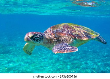Sea turtle portrait photo in sea. Tropical seashore diving banner template. Summer vacation travel card. Marine animal in natural environment. Olive green turtle undersea in coral reef. Oceanic nature