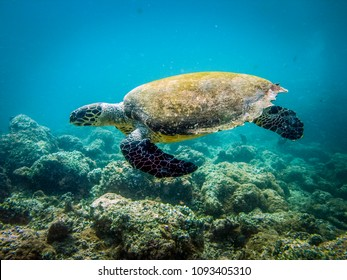 Sea turtle at reef. Hawksbill Turtle - Eretmochelys imbricata floats under water.