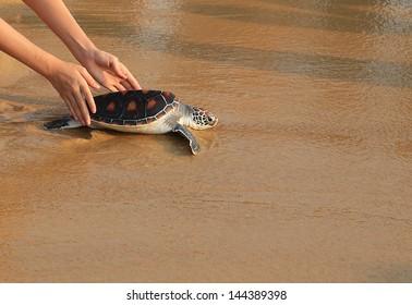 Sea turtle release.