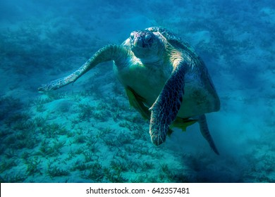 Sea turtle with remora floating in water column in Red Sea near Marsa Alam reef,  Egypt