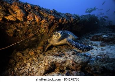 Sea Turtle resting on the Coast Guard Cutter Duane in Key Largo, Florida