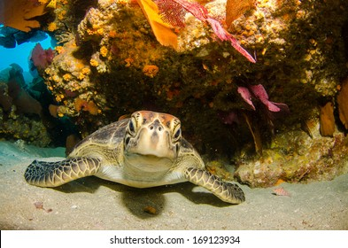 Sea turtle resting in the reefs of Cabo Pulmo National Park, Cousteau once named it The world's aquarium. Baja California Sur,Mexico.
