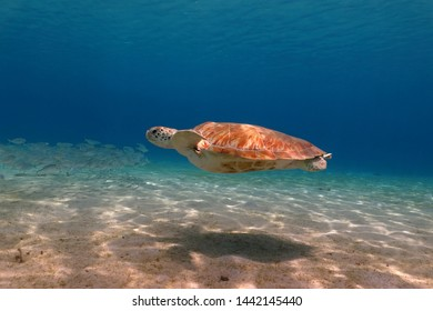 Sea turtle in the shallow water with sunlight. Swimming green turtle (chelonia mydas), shadow on the seabed. Underwater animal photography from scuba diving with marine wildlife. Reptile in the ocean.