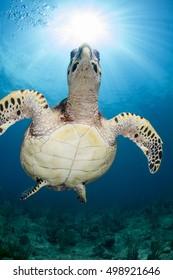 Sea turtle with sunburst