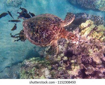 Sea Turtle with surrounding fish off the shores of Maui, Hawaii