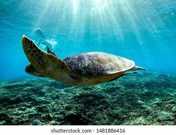 Sea turtle swim in the sea of Bali