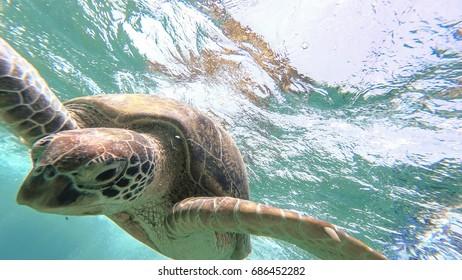 Sea turtle swim in the sea. Red sea. Marsa Alam