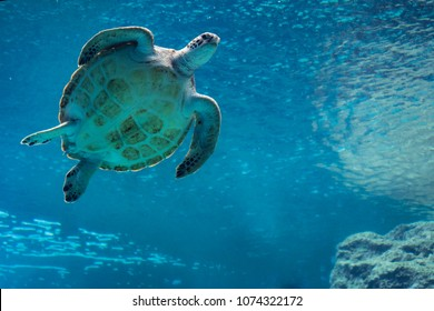 Sea turtle swiming in Churaumi Aquarium, Okinawa, Japan, April 2018