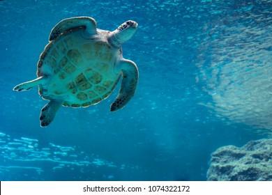 Sea turtle swiming in Churaumi Aquarium, Okinawa, Japan, April 2018