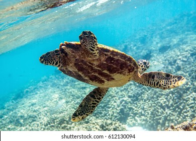 Sea turtle swimming around the coral reef