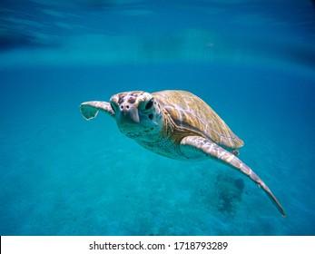Sea turtle swimming in the blue sea