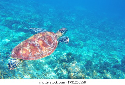 Sea turtle swimming in blue water. Cute sea turtle in blue water of tropical sea. Green turtle underwater photo. Wild marine animal in natural environment. Endangered species of coral reef. Tropical