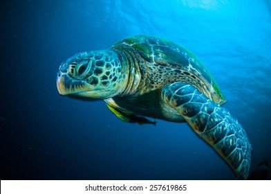 sea turtle swimming bunaken sulawesi indonesia mydas chelonia underwater photo