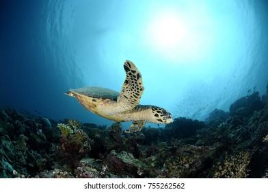 Sea Turtle swimming by in Maldives