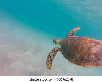 Sea turtle swimming in clear caribbean sea