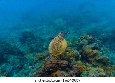 Sea Turtle swimming in the clear ocean of a tropical island