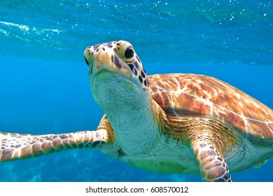 Sea turtle swimming close to the scuba diver. Turtle in the blue sea, looking directly into the camera. Details of head, mouth and eyes, colorful shell. Waves and blue ocean in the background.