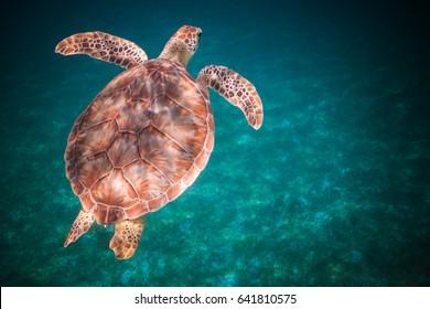 Sea turtle swimming in harbor of St. John, Virgin Islands