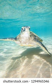 Sea Turtle Swimming in Incredibly Clear Tropical Water Over the Sand