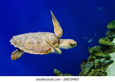 Sea Turtle swimming near reef.