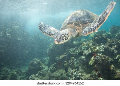 Sea Turtle Swimming Over a Coral Reef